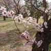 春が駆け足でやってきていますね。「梅」と「桜」が同時に見れるかも?