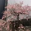 梅が満開です!@好文画廊(浜町中の橋交差点)
