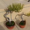 赤松盆栽2号・3号 春の植え替え