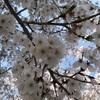 近所の公園で貸し切りのお花見