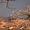 福井県庁の桜を見てきました。