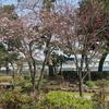 横浜の桜(1)