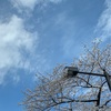 ビューティーモールの日焼け止めつけてサクラのお花見