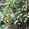 マルバノホロシの赤い実
