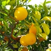 【花粉症】に効くといわれる幻の果物ジャバラ。和歌山県北山村の奇跡。