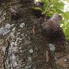 オビカレハガの終齢幼虫