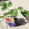 家庭菜園開始!野菜の苗とよつぼしイチゴを購入