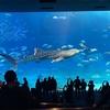沖縄美ら海水族館で、ジンベエザメと泳いだ気になれるかも⁈