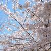 春爛漫、近所で楽しむお花見