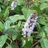 畑のハーブの花5