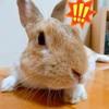 【ミニウサギのサスケ先輩】うさぎの強制給餌に終わりが見えない・・諦めたら終わり