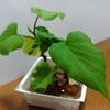リボベジ・・・再生野菜農園活動、リビングでやってます
