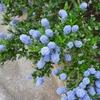 英国で見かけた青い花・紫の花の続き