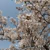 広島の桜は満開だヾ(o´∀`o)ノ♪