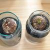 サトイモ栽培を水耕栽培で初めて1週間目、サトイモからお酒の様な香りが(里芋・ハイドロカルチャー)