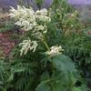 ペルシカリア・ポリモルファの開花。