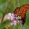 ベリーズ オレンジ色の蝶