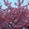 一足はやく桜が満開!