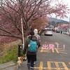 柴犬チャー、河津桜を見に行く!!