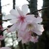 百花繚乱の早春の大阪城公園をランニング