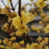 黄の蝋梅、赤のオタフクナンテン