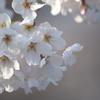 まだ五分咲き程度の千鳥ヶ淵のソメイヨシノ