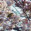 今日の景色 03/25 日比谷公園の桜