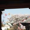 花見の家族ずれで賑わう千手山公園の桜を撮る