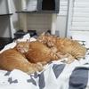 【とろねこチャレンジ】猫団子の季節がやってきました