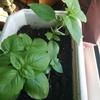 植物の生長記録⑤ バジルすくすく、アボカドにょきにょき