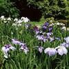 紫陽花と花菖蒲の見頃を一ヶ所で満喫  おまけに苔の花壇  ~広島市 植物公園~