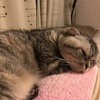 寝てばかり老猫