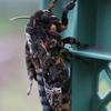 蜂蜜泥棒の羽化