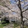今年のお花見 #サクラ #osaka  #花見 #茨木