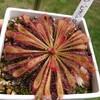 ドロセラ ビオドロップ (Drosera x Biodrop)