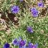 今の季節には青い花がよく似合う