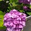 紫陽花の本当の花はどこ?