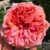 【庭】とりあえずバラが咲き始めたので