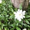 くちなしの白い花、咲いていました。純白で甘い香りがします。