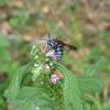 お初!青い蜂と黒い蝶。