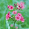 今日の誕生花「クリンソウ」仏閣の九輪に似てる花は千手ケ浜!