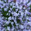 今日の一枚「雨に濡れたシバザクラ」(2021.04.13)[花]