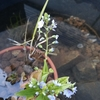 メダカの屋外ビオトープに花が咲きました。