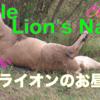 地球の王者野生オスライオンのお昼寝タイムのyoutube動画