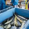 2020年9月22日 小浜漁港 お魚情報