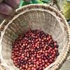もっと高くても良い〜フィリピンのオーガニックコーヒー農家を訪ねて〜