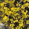 黄色の花だけ咲くレンギョウ