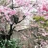 スペイン坂は満開…この桜を見れるのがうれしい