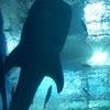 沖縄旅行レポート。②日目の4 【美ら海水族館~ホテル日航アリビラ】