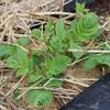 「佐久の季節便り」、「ジャガイモ」の芽生えは、何とかセーフ…。